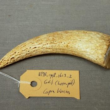 Geit; hoornpit (Capra hircus)