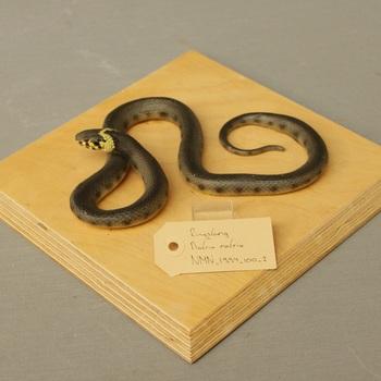 Model van ringslang (Natrix natrix)