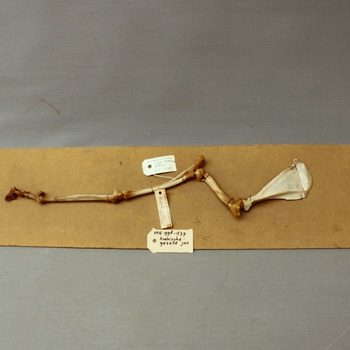Berggazelle (arabische gazelle); juveniel; skelet voorpoot met schouderblad; op strokarton; vetuitslag (Gazella gazella)