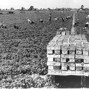 Plukken van aardbeien op het veld, circa 1950