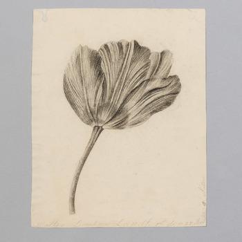 Tulpenbloem naar de natuur getekend