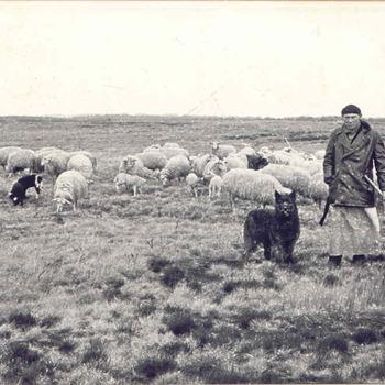 Ginkelse Heide - herder met schaapskudde