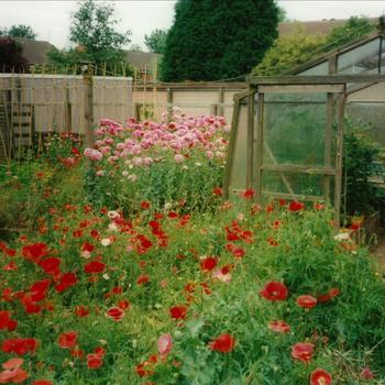 tuin, kas, bloemen, poppy's