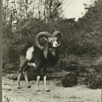 "Marva; Park ""De Hoge Veluwe"", Mouflon, Moeflon"