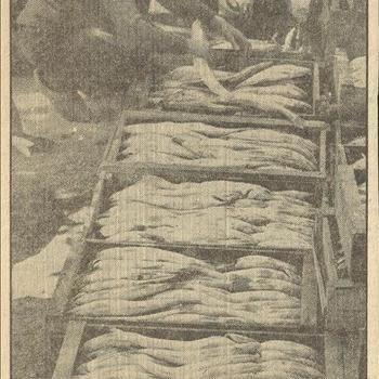 Groote hoeveelheden snoekbaars uit het IJsselmeer, worden bij gebrek aan zeevis te IJmuiden verhandeld.      juni 1940