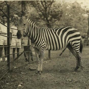 Ned. Indië, Tijgerbataljon: Soerabaja, dierentuin, zebra