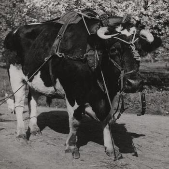 Os met ossentuig, Eerbeek, 1945