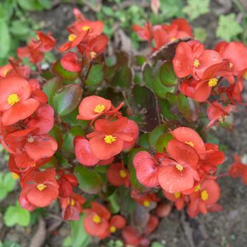 Begonia semperflorens (perkbegonia)