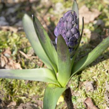 Hyacinthus orientalis 'blue star' (hyacint)