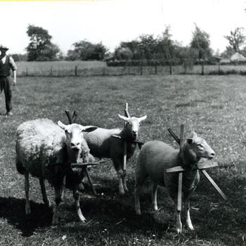 Schapen met 'strampel', Hengelo, 1942