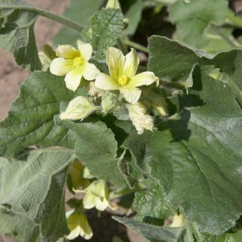 Ecballium elaterium (springkomkommer)