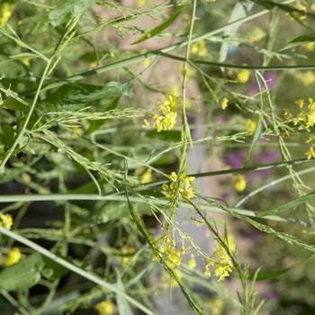 Brassica niger (zwarte mosterd)