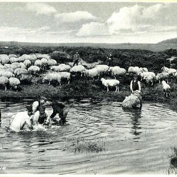 Schapen wassen op de Veluwe