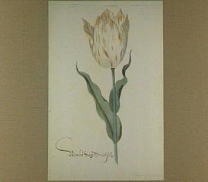 Tulp (Venus Van Aertsen)