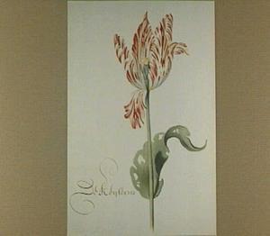 Tulp (De Keyserin)