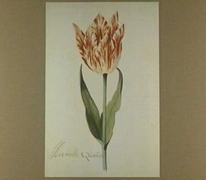 Tulp (Merveille Quakel)