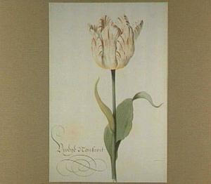 Tulp (Vroege Nonswit)