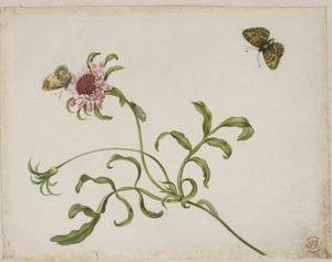 Kruising van duifkruid met metamorfose van vlinder