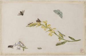 Verfbrem en sering met metamorfoses van vlinders