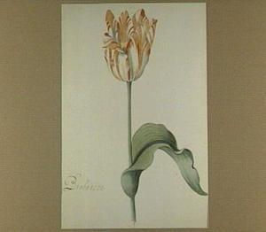 Tulp (Brabanson)