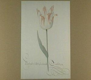 Tulp (Vroegen Blyenborger Catelyn)