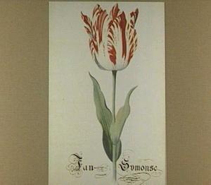 Tulp (Jan Symonse)