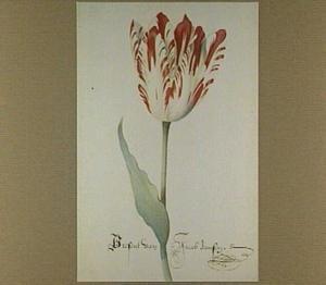 Tulp (Present Van Jacob Jansen)