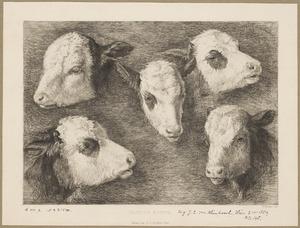 Studies van runderkoppen