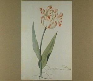 Tulp (Paragon van Delft)