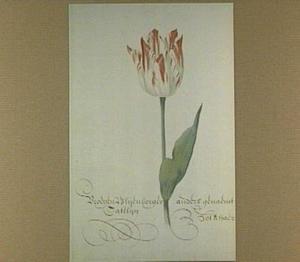 Tulp (Vroegen Blijenborger Catelijn anders genaemt Bonchaer)