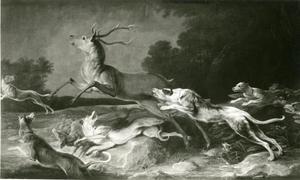 Honden vallen een damhert aan