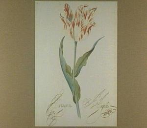 Tulp (Paragon Hajeu)