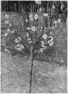 Abrikozenboom in bloei