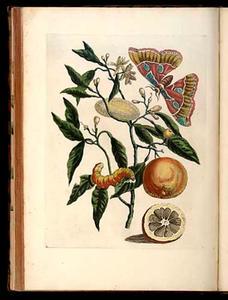 Oranjeappel met Rothschildia mot