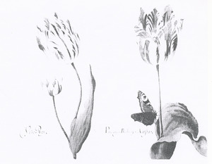 Twee tulpen (Vizo Roy en Parangun Brabantson Acosta) en een dagpauwoog