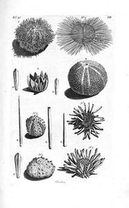 Acht zeeëgels en losse stekels