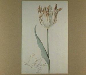 Tulp (Le Daulphin)