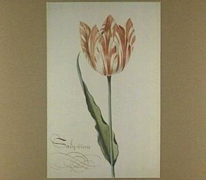 Tulp (Saey-blom)