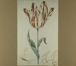 Tulp (Le grand Rambersan)