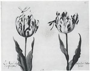 Twee tulpen (La Roijal altegge De Perrigota en P Vlorissont Tresleijck harlles) en twee waterjuffers