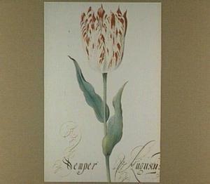 Tulp (Semper Augustus)