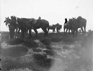 Paarden tijdens een militaire manoeuvre