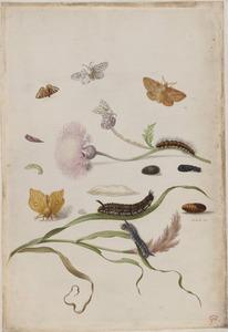 Lila centaurie met poppen, rupsen en vlinders