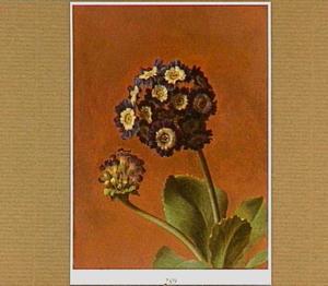 Aurikel (plant)