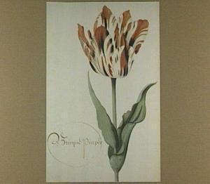 Tulp (Bruyne Purper)