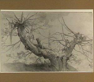 Oude geknotte boom