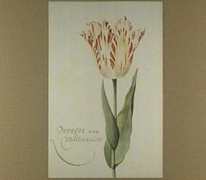 Tulp (Paragon van Walsch Landt)