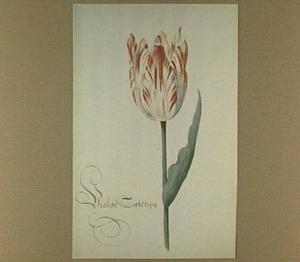 Tulp (Vroege Catelyn)