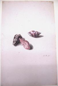 Studie van drie schelpen