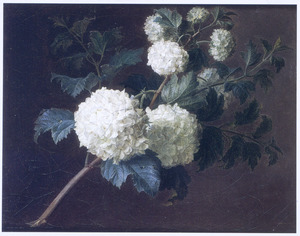 Studie van Gelderse rozen (sneeuwballen)